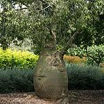 Brachychiton rupestris israel flora flowers plants