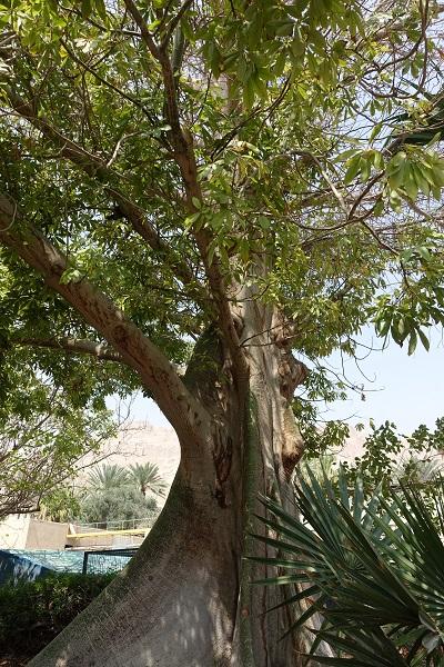 Ceiba pentandra, Eriodendron anfractuosum, White Silk Cotton