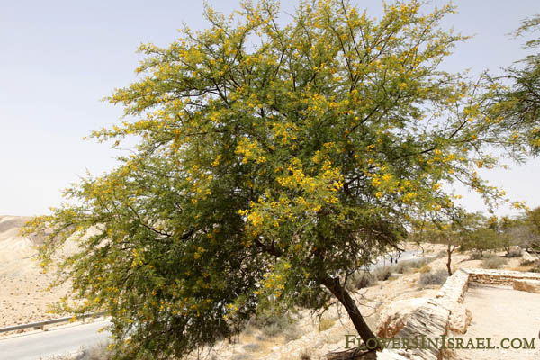 Flowers In Israel Sweet Acacia