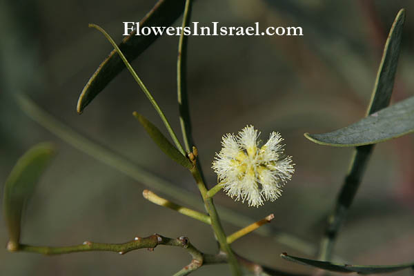 Plants In Israel Willow Acacia