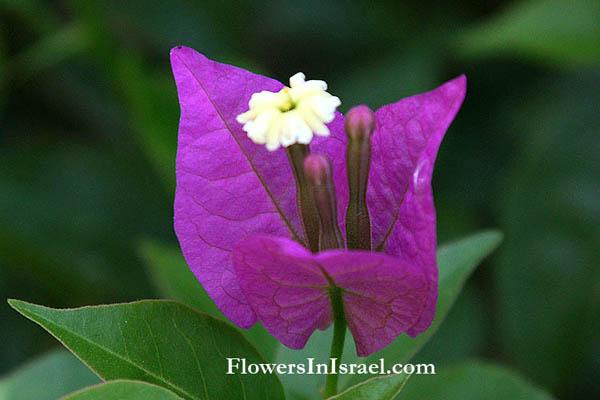 Plants in israel bougainvillea glabra bougainvillea glabra paper flowerlesser bougainvillea mightylinksfo
