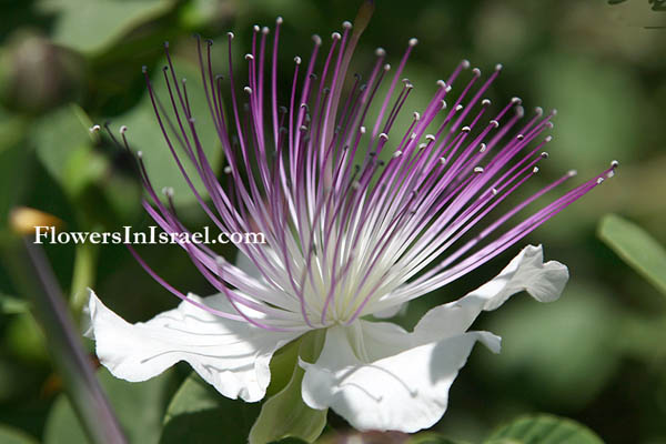Capparis spinosa,  Common Caper,الغبار، آبار, צלף קוצני