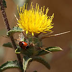 Centaurea procurrens, Israel, Yellow Flowers