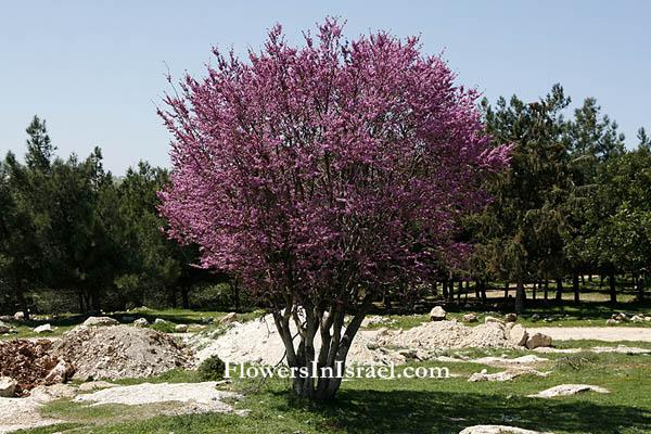 Plants Of The Bible Judas Tree