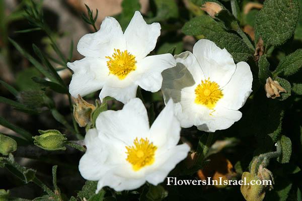 Cistus Salviifolius White Rockrose Sage Leaved لب ـاد أبيض לוטם מרווני