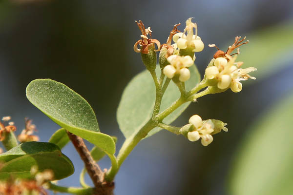 Plants In Israel Grey Leaved Saucerberry