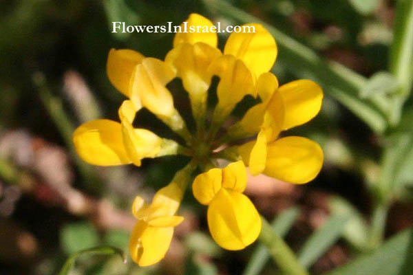 Israel wildflowers yellow crown vetch mightylinksfo