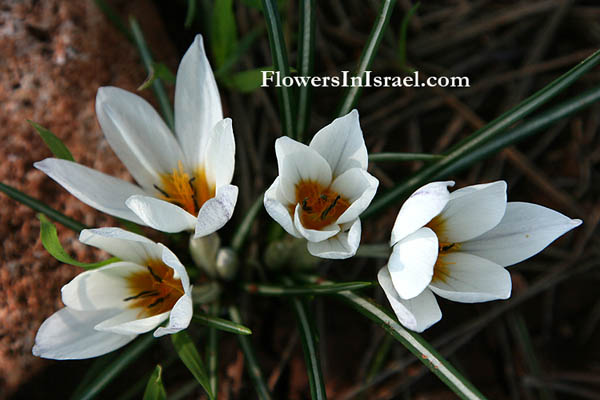 Israel wildflowers, send flowers online
