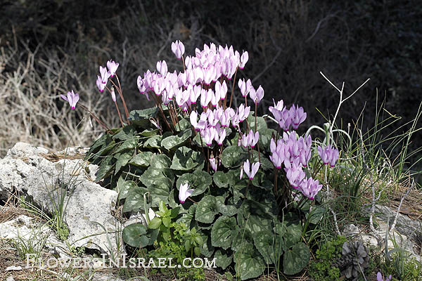 Cyclamen persicum, Persian Cyclamen, רקפת מצויה  , سيكلامين