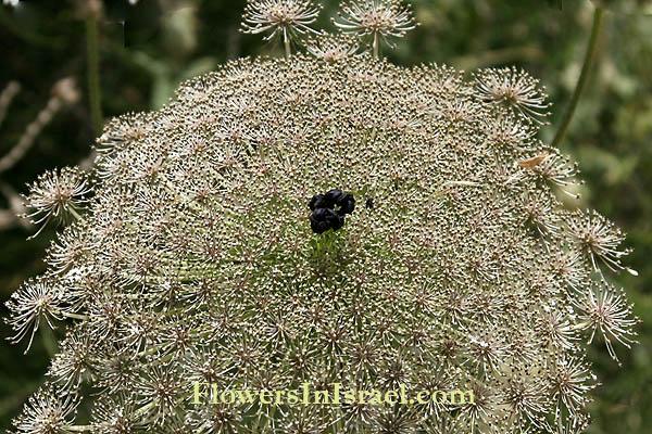 Israel Wildflowers Wild Carrot