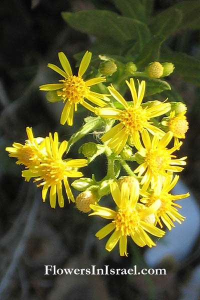 Inula Viscosa: Israel Wildflowers: Strong-Smelling Inula