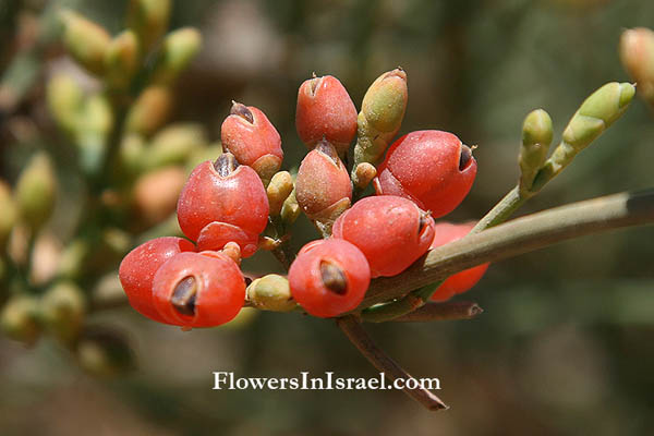 Flora of Israel: Joint pine