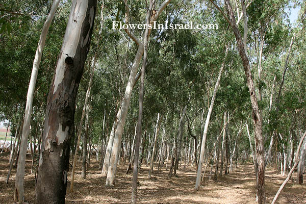 Plants In Israel: River-Red-gum