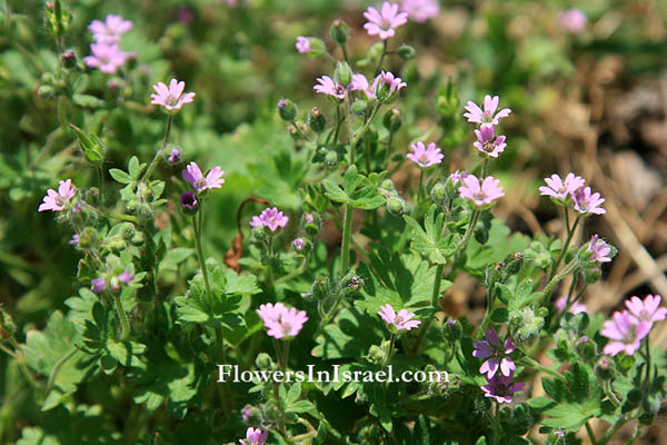 Geranium molle, Soft crane's-bill, Dove's-Foot Crane's-Bill, גרניון רך