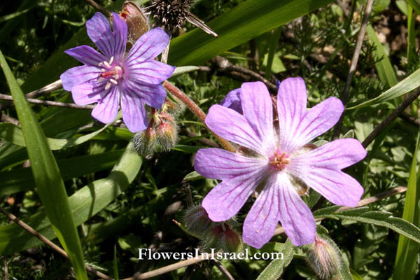 Flowers of Israel online