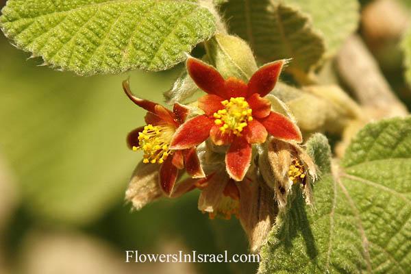 http://www.flowersinisrael.com/Flowgallery/Grewia_villosa_flower3.jpg