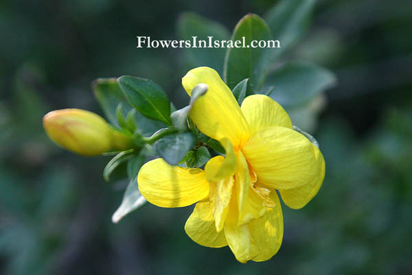 Flowers of Israel (Israel wildflowers and nativeplants)