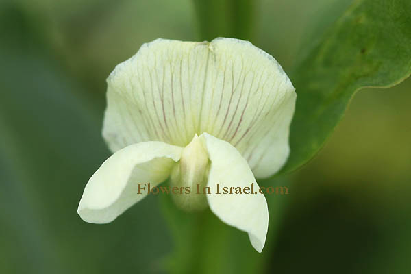 Flowers in Israel (Israel wildflowers and native plants)