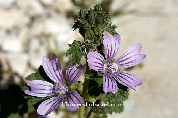 Malva sylvestris, Wood Mallow, חלמית גדולה  ,خبيزة