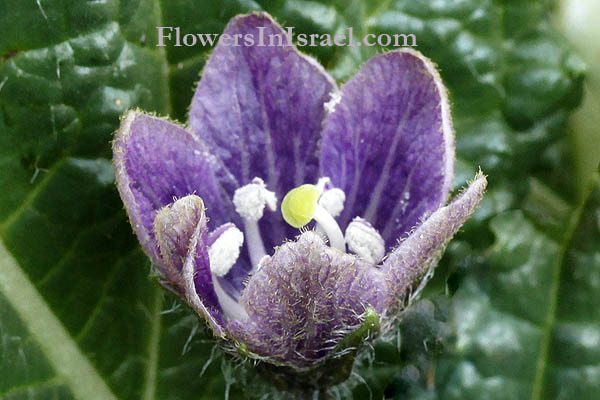 Mandrake Flower Stock Photos & Mandrake Flower Stock Images - Alamy