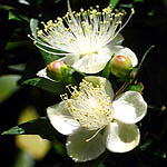 Myrtus communis, Israel, Flowers, Native Plants