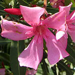 Nerium oleander, Israel, Flowers, Native Plants