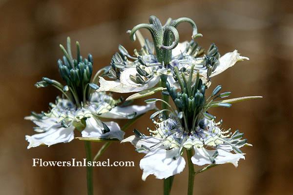 flora of israel nigella arvensis. Black Bedroom Furniture Sets. Home Design Ideas