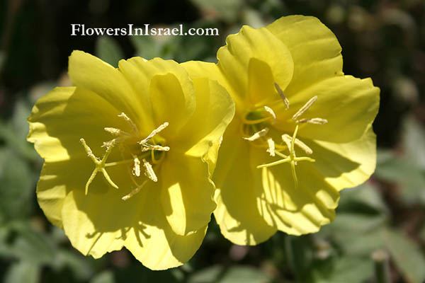 Israel wildflowers: Oenothera drummondii, Beach evening primrose, נר-הלילה החופי