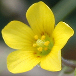 Oxalis corniculata, Israel, Pictures of Yellow flowers