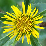 Pallenis spinosa, Israel, Pictures of Yellow flowers