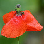 Papaver humile, Israel, Red flowers
