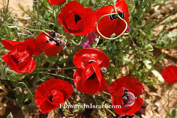Flowers in israel corn poppy fiori selvatici del mediterraneo israel papaver umbonatum papaver subpiriforme corn poppy derivation of the botanical name mightylinksfo