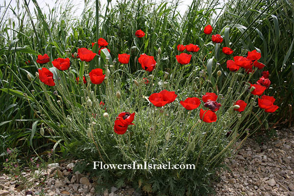 flowers in israel corn poppy