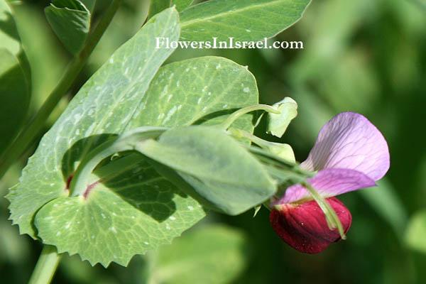 Flora Of Israel  Garden Pea