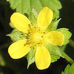Potentilla indica, Flowers in Israel, wildflowers