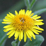 Pulicaria dysenterica, Israel, Pictures of Yellow flowers