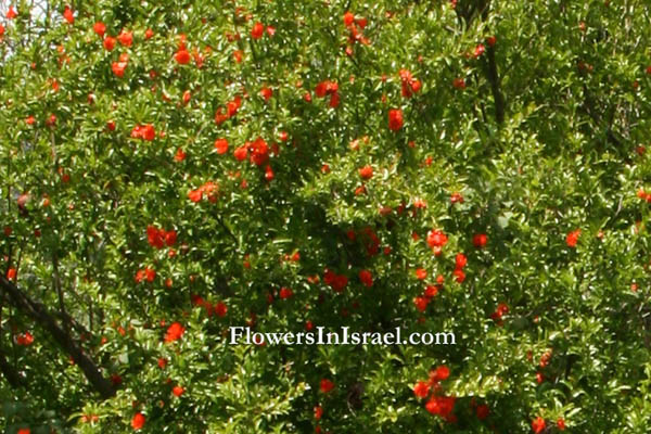 Israel, Native plants, Bible, Judaism, Palestine