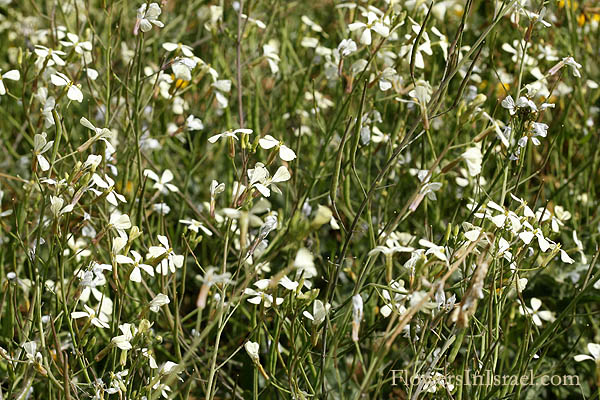 Raphanus raphanistrum, Sea-Radish,White Charlock, Wild Radish, Jointed Charlock, فجل  برى, צנון מצוי