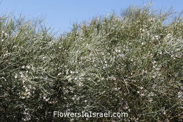 Retama raetam, Lygos raetam,White  Broom, White Weeping Broom, רותם המדבר , رتم