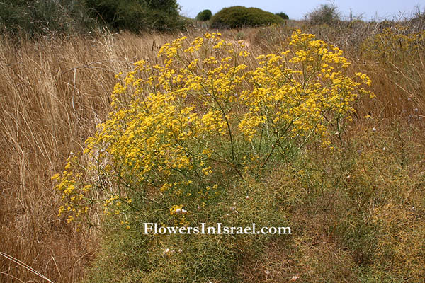 Flora of Israel, Israel wildflowers