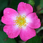 Rosa canina, Israel, Native Plants, Wildflowers