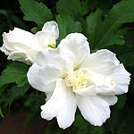 Rose of Sharon, Israel, Native Plants, Wildflowers