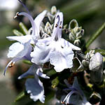 Rosmarinus officinalis, Israel, Native Plants, Wildflowers