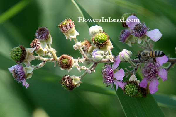 Israel wildflowers and native plants of Palestine