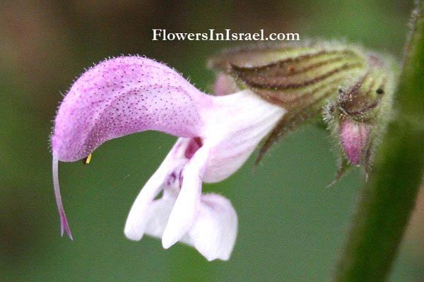 Το Ισραήλ αγριολούλουδα και ενδημικά φυτά