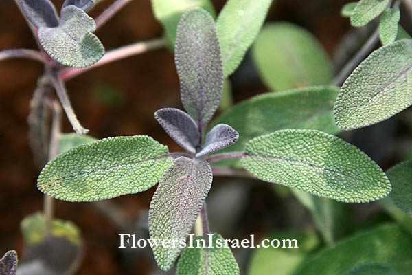 Salvia officinalis ,Common sage, Garden sage, Kitchen sage, Dalmatian sage, قصعين طبي,מרווה רפואית