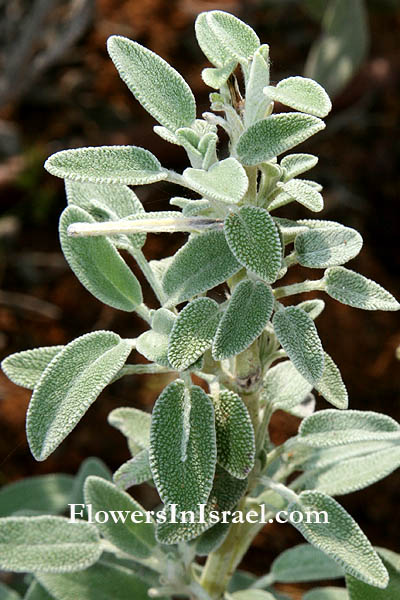 Salvia officinalis,Common sage, Garden sage, Kitchen sage, Dalmatian sage,מרווה רפואית