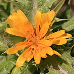 Scolymus hispanicus, Israel, Pictures of Yellow flowers