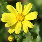 Senecio vernalis, Israel, Pictures of Yellow flowers
