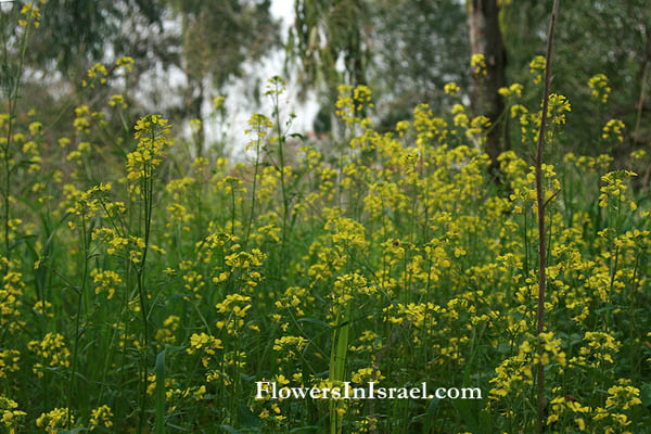Israel wild flowers and native plants